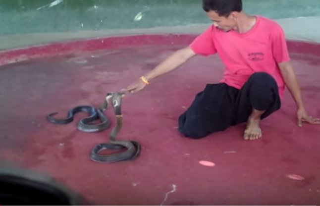 man controlling king cobra with his expressions video